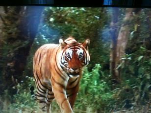 Historias de tigres y gacelas (7)